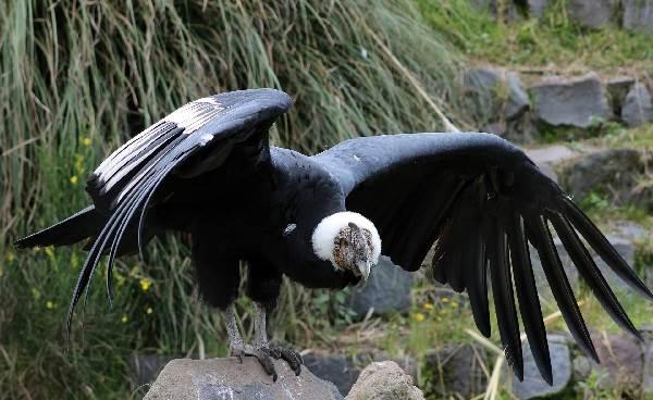 Кондор-птица-Описание-особенности-образ-жизни-и-среда-обитания-кондора-6