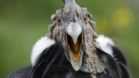 Кондор птица. Описание, особенности, образ жизни и среда обитания кондора