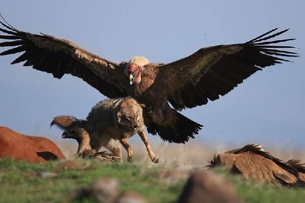 Кондор-птица-Описание-особенности-образ-жизни-и-среда-обитания-кондора-8