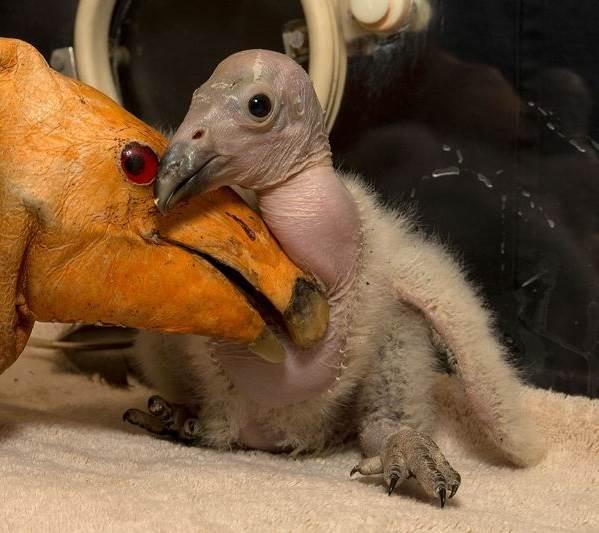 Кондор-птица-Описание-особенности-образ-жизни-и-среда-обитания-кондора-9