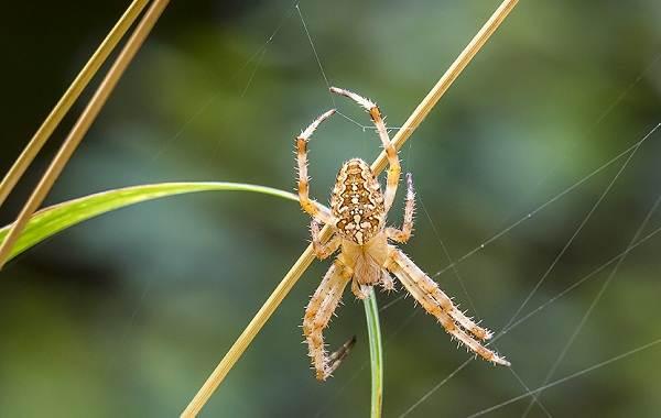 Крестовик-паук-Описание-особенности-виды-образ-жизни-и-среда-обитания-крестовика-2