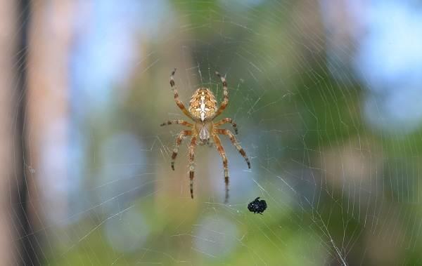 Крестовик-паук-Описание-особенности-виды-образ-жизни-и-среда-обитания-крестовика-4