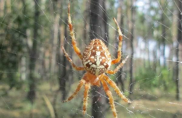 Крестовик-паук-Описание-особенности-виды-образ-жизни-и-среда-обитания-крестовика-5