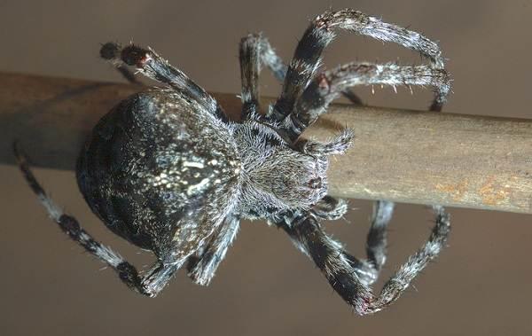 Крестовик-паук-Описание-особенности-виды-образ-жизни-и-среда-обитания-крестовика-6