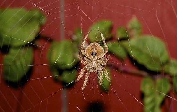 Крестовик-паук-Описание-особенности-виды-образ-жизни-и-среда-обитания-крестовика-7