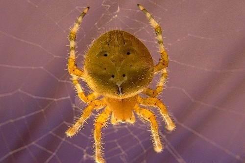 Крестовик-паук-Описание-особенности-виды-образ-жизни-и-среда-обитания-крестовика-8