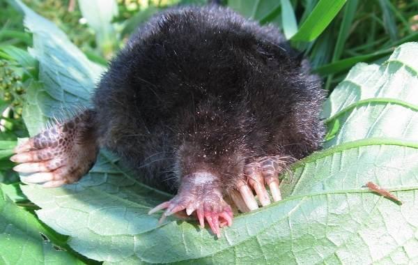Крот-животное-Описание-особенности-виды-образ-жизни-и-среда-обитания-крота-11