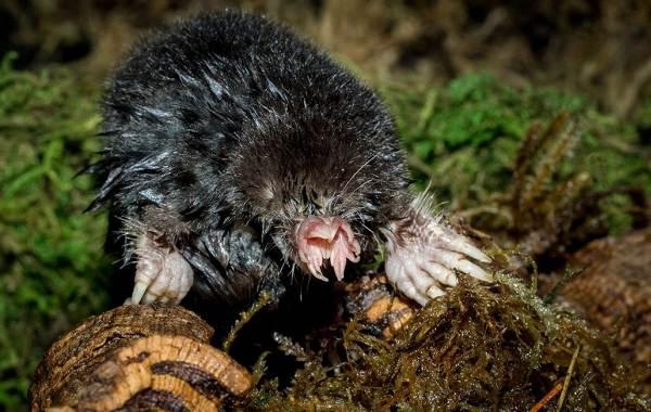 Крот-животное-Описание-особенности-виды-образ-жизни-и-среда-обитания-крота-12