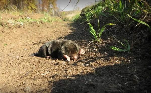 Крот-животное-Описание-особенности-виды-образ-жизни-и-среда-обитания-крота-13