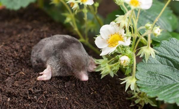 Крот-животное-Описание-особенности-виды-образ-жизни-и-среда-обитания-крота-16