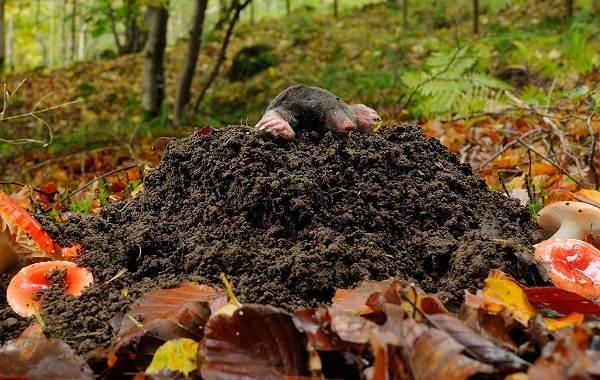 Крот-животное-Описание-особенности-виды-образ-жизни-и-среда-обитания-крота-5