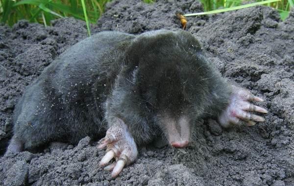 Крот-животное-Описание-особенности-виды-образ-жизни-и-среда-обитания-крота-7