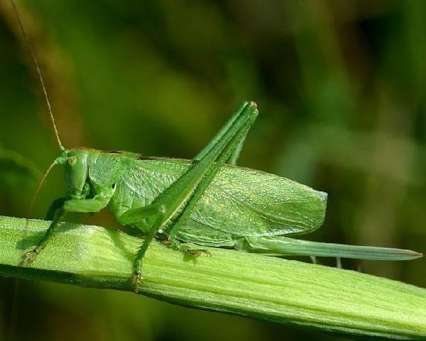 Кузнечик-насекомое-Описание-особенности-виды-и-среда-обитания-кузнечика-1