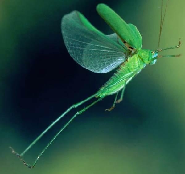 Кузнечик-насекомое-Описание-особенности-виды-и-среда-обитания-кузнечика-11