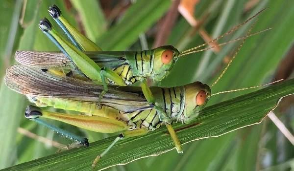 Кузнечик-насекомое-Описание-особенности-виды-и-среда-обитания-кузнечика-13