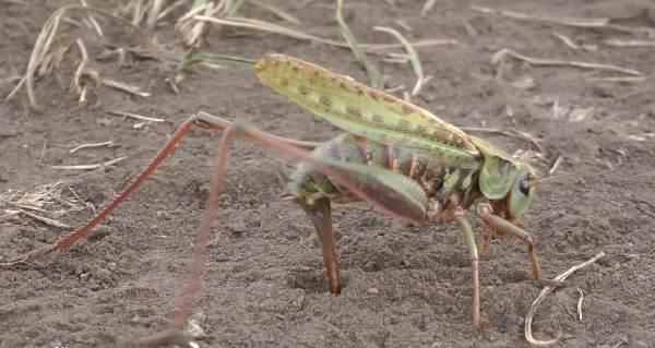 Кузнечик-насекомое-Описание-особенности-виды-и-среда-обитания-кузнечика-14