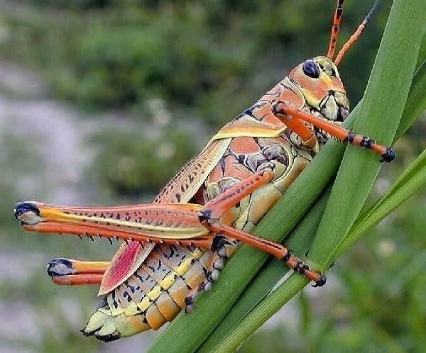 Кузнечик-насекомое-Описание-особенности-виды-и-среда-обитания-кузнечика-2