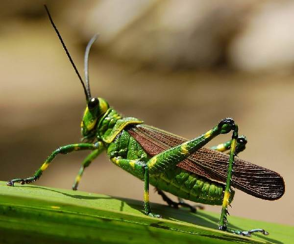 Кузнечик-насекомое-Описание-особенности-виды-и-среда-обитания-кузнечика-3
