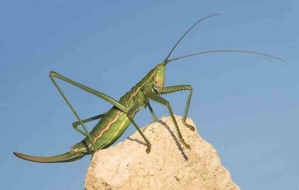 Кузнечик-насекомое-Описание-особенности-виды-и-среда-обитания-кузнечика-4