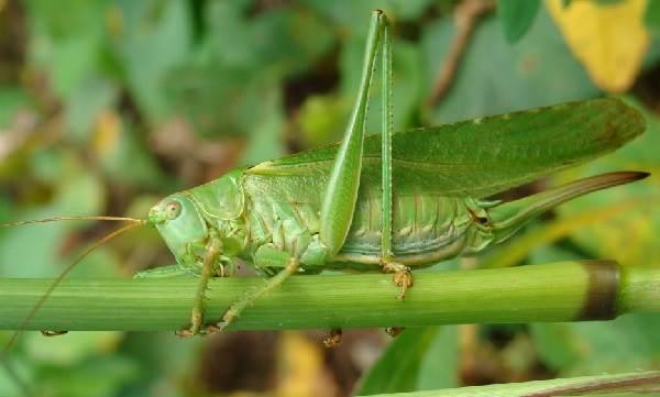 Кузнечик-насекомое-Описание-особенности-виды-и-среда-обитания-кузнечика-5