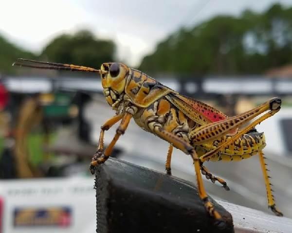Кузнечик-насекомое-Описание-особенности-виды-и-среда-обитания-кузнечика-6