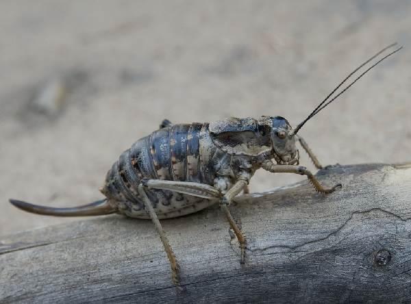 Кузнечик-насекомое-Описание-особенности-виды-и-среда-обитания-кузнечика-9
