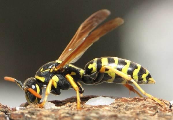 Оса-насекомое-Описание-особенности-образ-жизни-и-среда-обитания-осы-2
