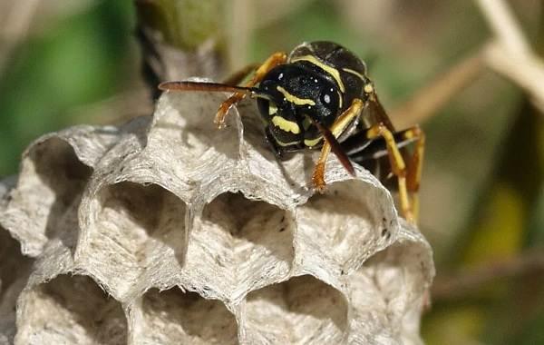 Оса-насекомое-Описание-особенности-образ-жизни-и-среда-обитания-осы-20
