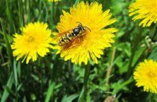Оса насекомое. Описание, особенности, образ жизни и среда обитания осы
