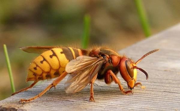 Оса-насекомое-Описание-особенности-образ-жизни-и-среда-обитания-осы-23