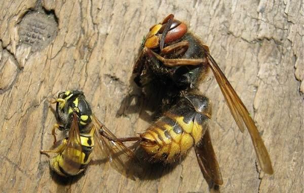 Оса-насекомое-Описание-особенности-образ-жизни-и-среда-обитания-осы-24