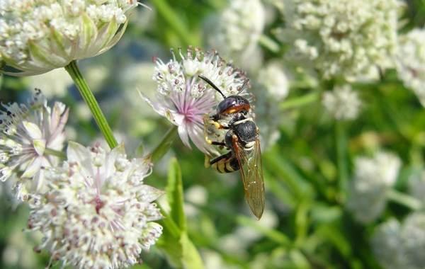 Оса-насекомое-Описание-особенности-образ-жизни-и-среда-обитания-осы-25
