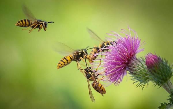 Оса-насекомое-Описание-особенности-образ-жизни-и-среда-обитания-осы-31