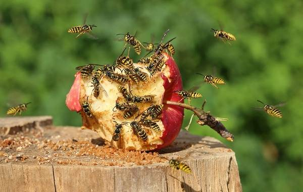 Оса-насекомое-Описание-особенности-образ-жизни-и-среда-обитания-осы-32