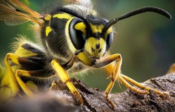 Оса-насекомое-Описание-особенности-образ-жизни-и-среда-обитания-осы-4