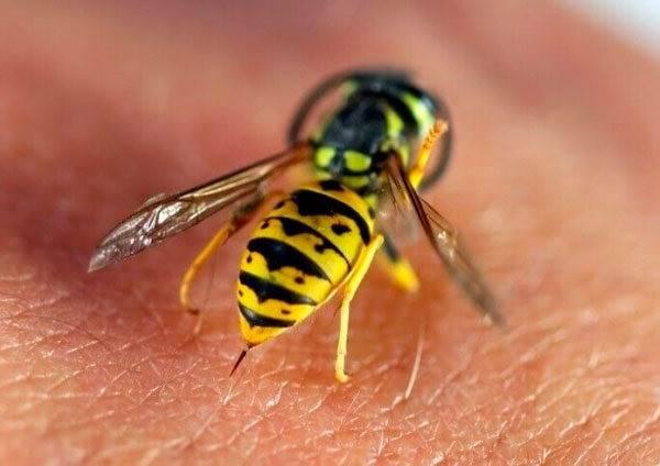 Оса-насекомое-Описание-особенности-образ-жизни-и-среда-обитания-осы-7