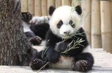 Панда животное. Описание, особенности, образ жизни и среда обитания панды