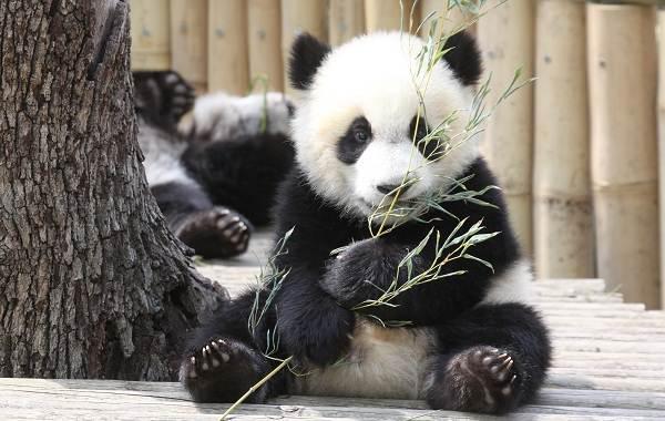 Панда-животное-Описание-особенности-образ-жизни-и-среда-обитания-панды-1