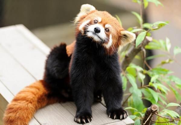 Панда-животное-Описание-особенности-образ-жизни-и-среда-обитания-панды-10