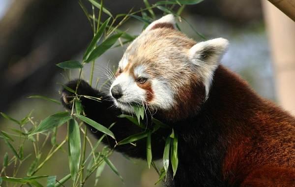 Панда-животное-Описание-особенности-образ-жизни-и-среда-обитания-панды-11
