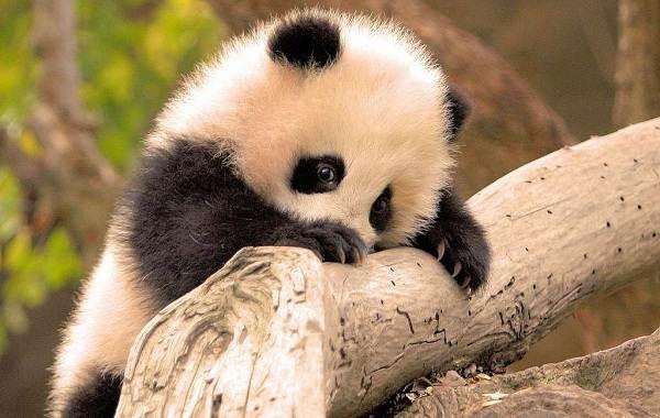 Панда-животное-Описание-особенности-образ-жизни-и-среда-обитания-панды-12