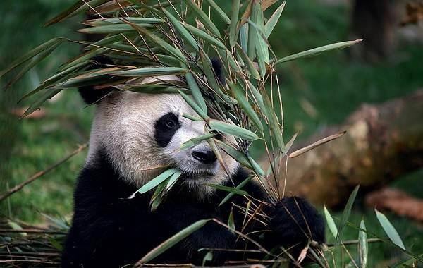 Панда-животное-Описание-особенности-образ-жизни-и-среда-обитания-панды-13