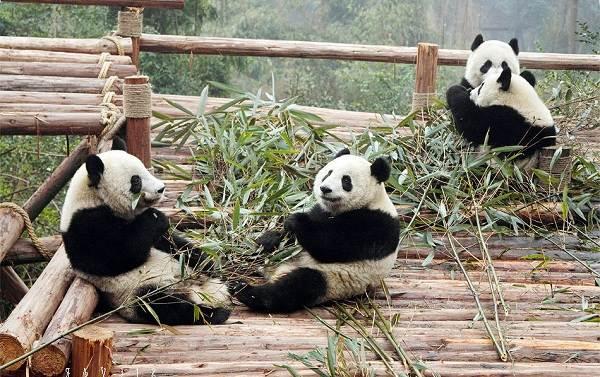 Панда-животное-Описание-особенности-образ-жизни-и-среда-обитания-панды-14
