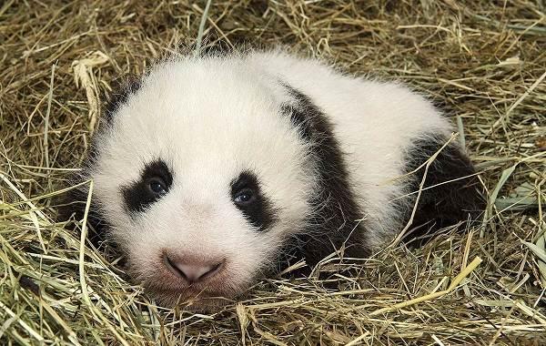 Панда-животное-Описание-особенности-образ-жизни-и-среда-обитания-панды-15