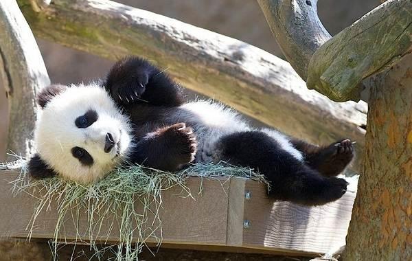 Панда-животное-Описание-особенности-образ-жизни-и-среда-обитания-панды-16