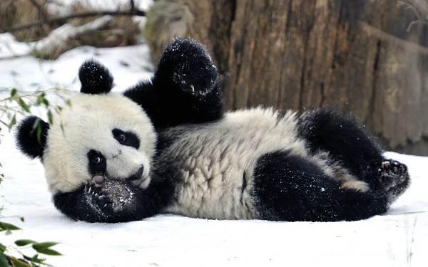 Панда-животное-Описание-особенности-образ-жизни-и-среда-обитания-панды-2