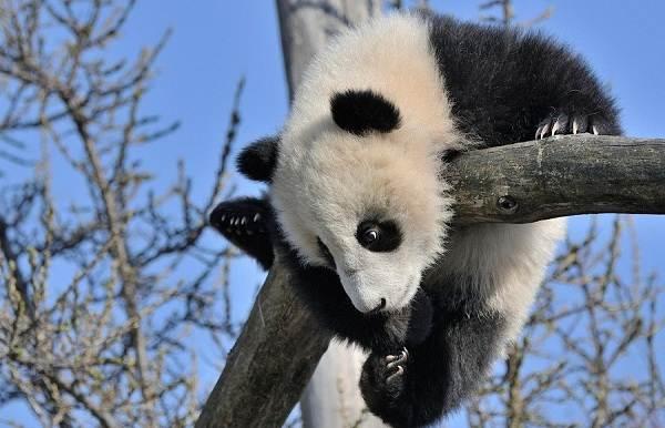 Панда-животное-Описание-особенности-образ-жизни-и-среда-обитания-панды-3