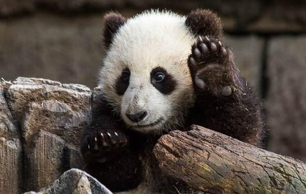 Панда-животное-Описание-особенности-образ-жизни-и-среда-обитания-панды-4