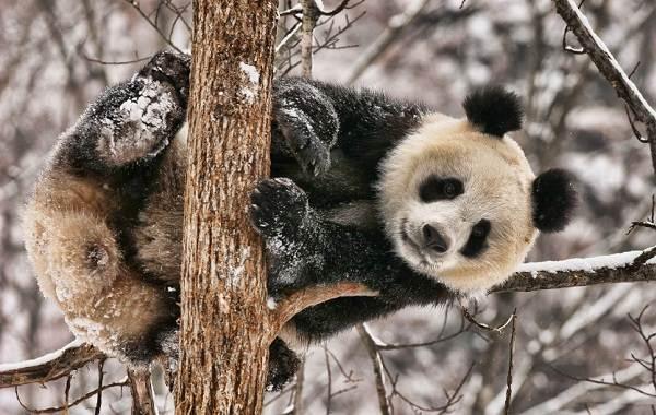 Панда-животное-Описание-особенности-образ-жизни-и-среда-обитания-панды-5