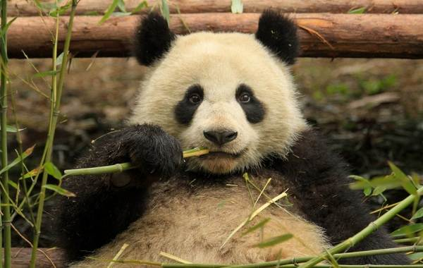 Панда-животное-Описание-особенности-образ-жизни-и-среда-обитания-панды-6